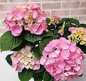[도희씨네 정원] 사랑스러운 핑크수국 260|