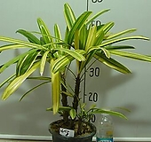 남산금8번 관음죽-색대비뚜렸한 황금색잎-동일품배송|variegated