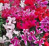 [꽃파는농부] 애정만큼 보답하는 시클라멘(중품)(색상랜덤)|