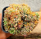 라밀라떼철화 3-0102|Echeveria Lamillette  f cristata