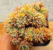 라밀라떼철화 3-0103|Echeveria Lamillette  f cristata