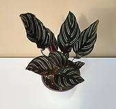 그루그루 진저오나타 칼라데아 공기정화식물 