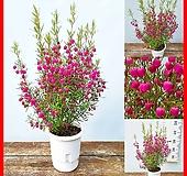 꽃과나무 ] 보로니아 / 향기 / 분홍꽃 / 종모양 / 봄꽃 / 반양지식물 / 최저온도-4도 / 호주산 / |