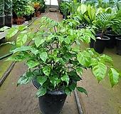 녹보수(중품) 잎식구가 많아요|Sedum dendroideum