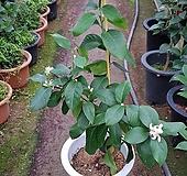 레몬나무 (중품 오리지널)|