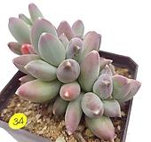크라우쿰hy|Pachyphytum compactum var. glaucum