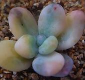 홍미인금 304-1061|Pachyphytum ovefeum cv. momobijin