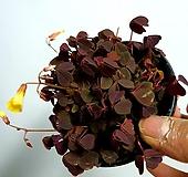 옥살리스 사랑초|