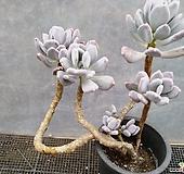 그리니치카울|Pachyphytum glutinicaule