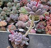 홍미인3-130|Pachyphytum ovefeum cv. momobijin