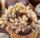 익스펙트리아철화3-225|Cremneria Expatriata f cristata