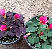 하트잎사랑초-2개|