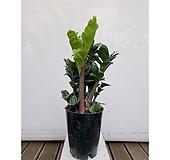 보석금전수(포트) 돈나무 초보자 거실인테리어식물|variegated