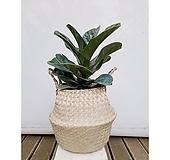 떡갈고무나무+해초라탄바구니화분세트 감성 인테리어식물|
