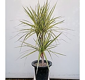 황금 마지나타 럭키 화초 인테리어 관엽 공기정화식물|variegated