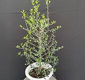올리브나무 대 90cm|