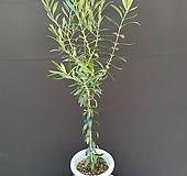 씨프레시노 / 시프레시노 올리브나무 110cm 