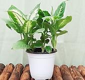 디펜바키아 마리안느 초보자도 키우기 쉬운 식물 [하늘꽃농원]|