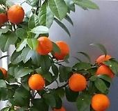 오렌지 레몬나무C2420-외목대,동일품배송,향기짱|