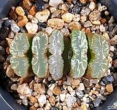 운택옥선 29-35|Haworthia truncata