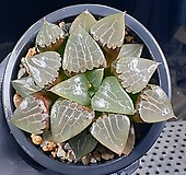 양창콤프토니아(대묘) 30-22|Haworthia comptonia