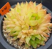 경화금 자연군생|Haworthia cymbiformis f. variegata