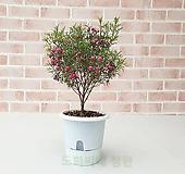 [도희씨네 정원] 핑크방울 봄꽃 보르니아 180|