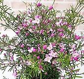 [도희씨네 정원]  천연향수 핑크 피나타 120|