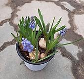 무스카리/봄을알리는 보라색꽃|