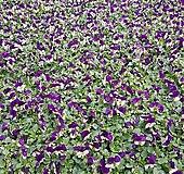 [비올라] 바이올렛색상  (4개 1세트)  2021 새상품/팬지/나비꽃/꽃모종|Echeveria Pansy