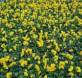 [비올라] 엘로우 색상  (4개 1세트)  2021 새상품/팬지/나비꽃/꽃모종|Echeveria Pansy