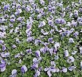[비올라] 라이트라벤더 색상  (4개 1세트)  2021 새상품/팬지/나비꽃/꽃모종|Echeveria Pansy