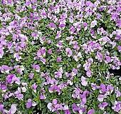 [비올라] 퍼플 투톤 색상  (4개 1세트)  2021 새상품/팬지/나비꽃/꽃모종|Echeveria Pansy