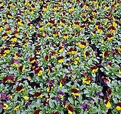 [비올라] 엘로 벨벳 투톤색상  (4개 1세트)  2021 새상품/팬지/나비꽃/꽃모종|Echeveria Pansy