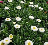 [데이지] 화이트 색상  (4개 1세트)  2021 새상품/마가렛/팬지/나비꽃/꽃모종|Echeveria halbingeri