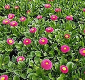 [데이지] 마젠타 핑크 색상  (4개 1세트)  2021 새상품/마가렛/팬지/나비꽃/꽃모종|Echeveria halbingeri