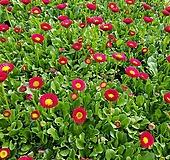 [데이지] 버건디 레드 색상  (4개 1세트)  2021 새상품/마가렛/팬지/나비꽃/꽃모종|Echeveria halbingeri