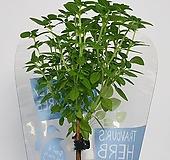 바질트리 토피어리 - 공기정화 / 식용식물 / 인테리어 |