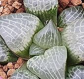 수정콤프토니아 |Haworthia comptonia