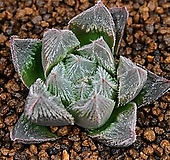 베누스타 Haworthia venusta  10|