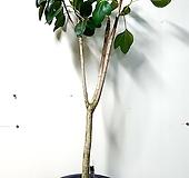 목대좋은 황칠나무|