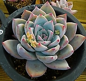 야생콜로라타22|Echeveria colorata