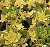 까라솔 자연 [랜덤발송] 0306-05|Aeonium decorum f variegata