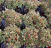 소인제 [랜덤발송] 0306-09|Aeonium sedifolius