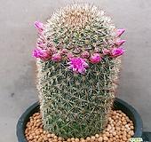 성성환선인장  사이즈좋은대품인데꽃도예뻐요 특가로드려요 0366 산아래다육이|