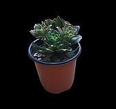 그린플랜트 다육식물 흑사 1+1 무료배송|