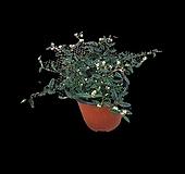 그린플랜트 야생화 천황매|