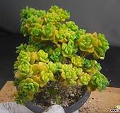 린들레이금 306-1028|Aeonium Lindleyi