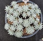 화이트그리니 자연군생 519|Dudleya White greenii