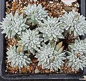 화이트그리니 자연군생 520|Dudleya White greenii